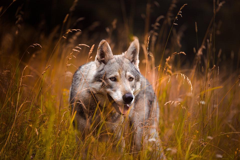 wolf-5426114_960_720.jpg