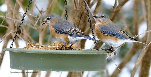 Bird Feeding Basics & Project FeederWatch 101
