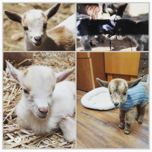 Baby Farm Animals Virtual Event