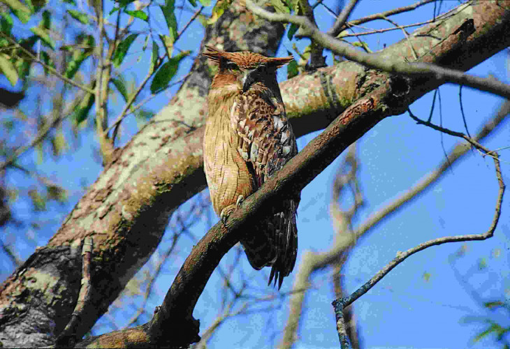North India Guided Birding Tour (15 Days; # 147; shikra)