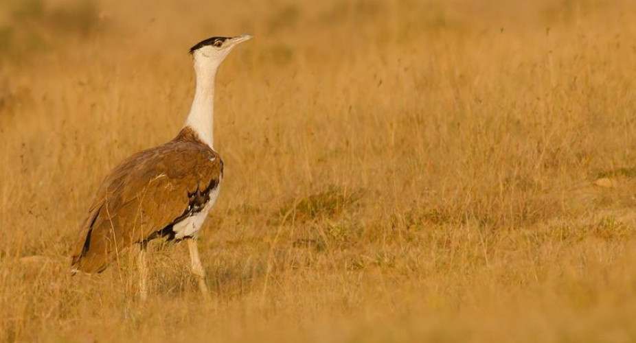 Great Indian Bustard and other Rajasthan Birding Highlights (09 Days #826-MP)