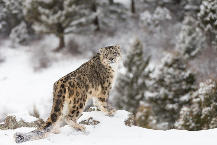 Snow Leopard Tour (14 Days #893)
