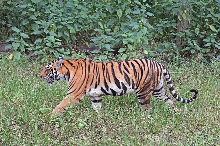 Just Tigers ! Bandhavgarh and Kanha National Parks (June 05 Days; # 260)