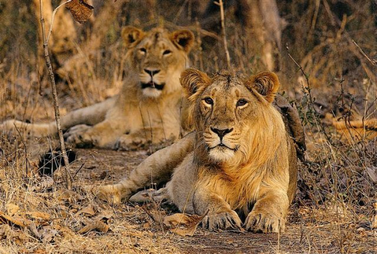 Lions & Tigers of India (15 Days; # 732 - B)