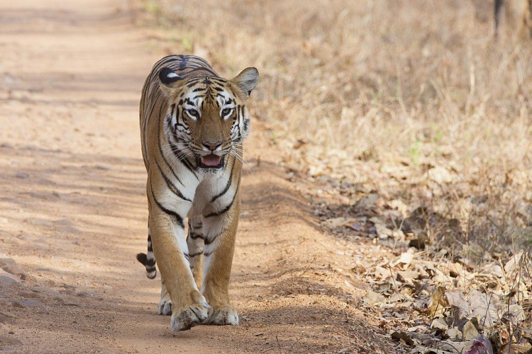 Tigers of Central India (07 Days; # 745 - B)