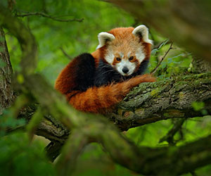 The Quest for Red Panda (08 Days; # 713 - B)