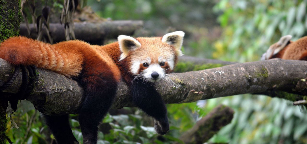 Red Panda Special: Birds of North Bengal (#820-MP)