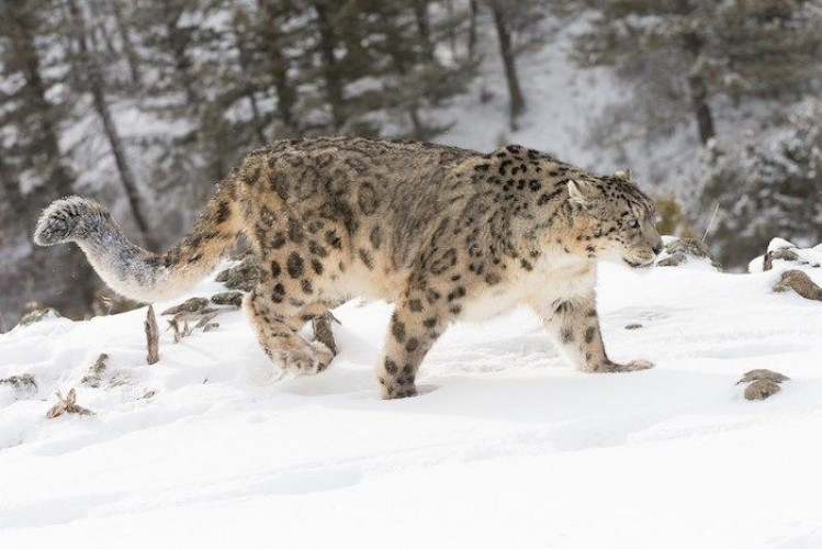 Snow Leopard Special in Ladakh (#814-MP)