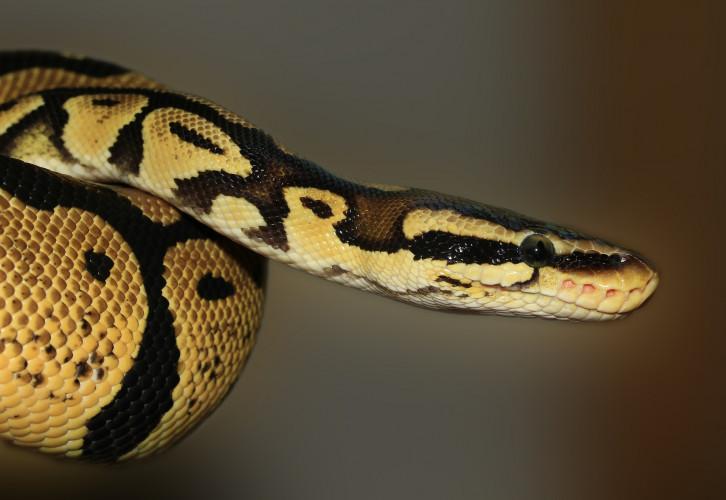 snake-419043_1920_d6oO.jpg